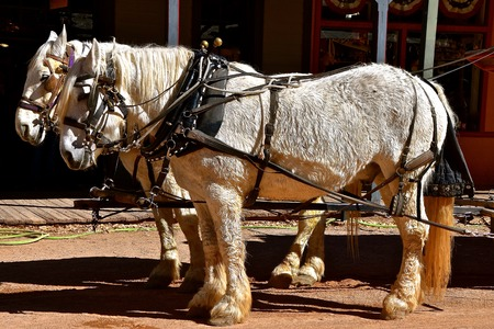 A team of white Percheron horses are harnessed and ready for work.