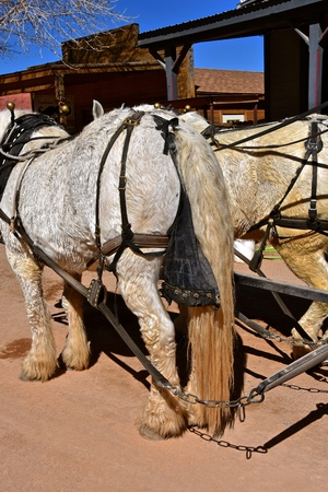 A team of white Percheron horses are harnessed and wearing manure bags eliminating messy streets.
