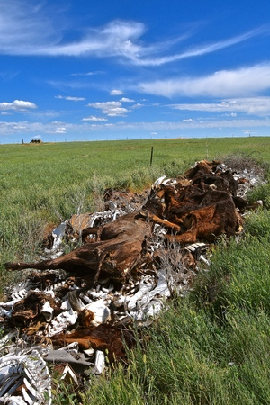 A pile of bones and carcasses from dead beef animals are left in a bone pile on a western prairie ranch.