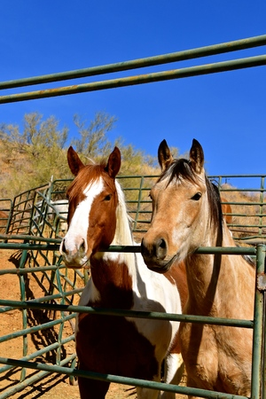 Several horses lean over a metal gate in a corral.