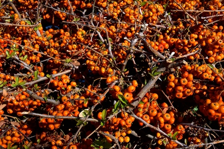 A cluster of Heirloom Firethorn seeds found in a hedge Stockfoto