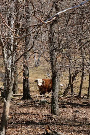 A mature Hereford bull stands alone in a thicket of trees  in the spring of the year. Stock Photo