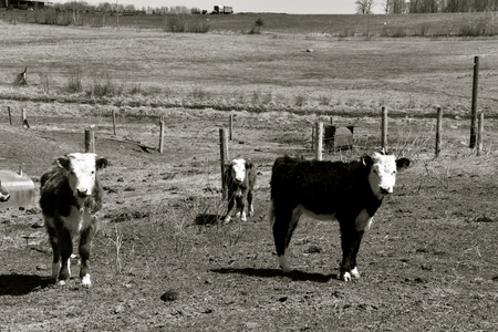 Young Hereford beef cattle standing by the fence line in a pasture during the spring season. (black and white) Stock Photo
