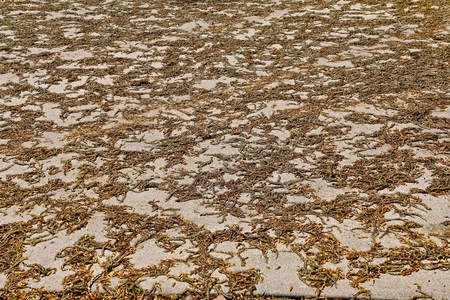 Poplar tree seeds litter a driveway in the spring season