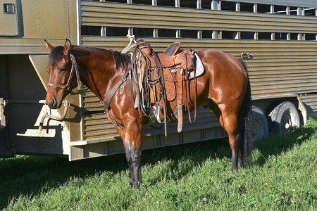 A saddled horse ready for ranch work stand waiting near a trailer Stock Photo - 102408032
