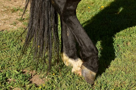 A closeup of the back feet of a horse standing in a relaxed manner Archivio Fotografico