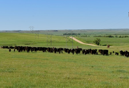 A herd of Angus cows and calves are being rounded up in the South Dakota prairie in preparation for branding. 版權商用圖片