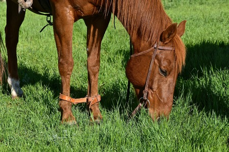 A leather strap hobbles a horse during a branding. 写真素材