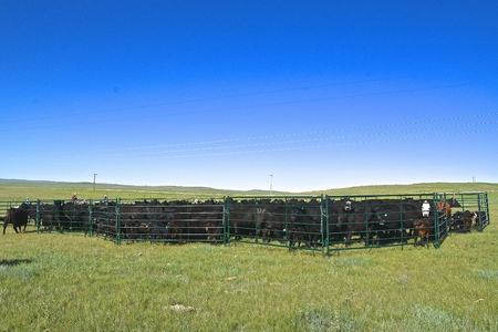 A group of cowboys and cowgirls  participate in a roundup of black Angus beef cattle driven into a portable corral