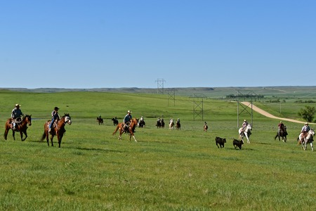 A group of cowboys and cowgirls  participate in a roundup of black Angus beef cattle