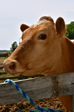 A Jersey dairy cow is tied to a wooden fence