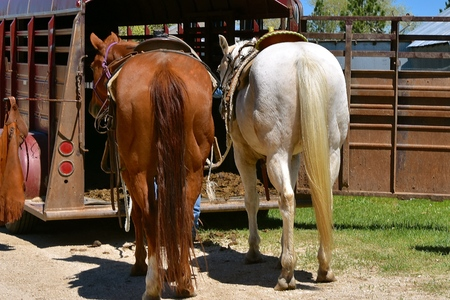 Several saddled horses are ready to step in to the back of a trailer in preparation for a roundup and branding.
