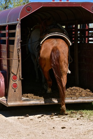 A saddled horse is ready to step into the back of a trailer in preparation for a roundup and branding.