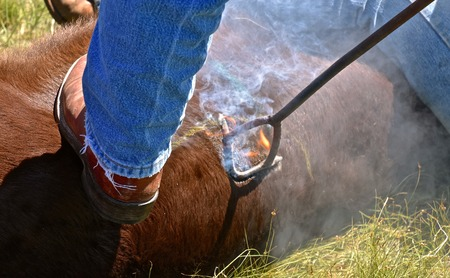 A branding iron on a beef calf singes the hair which erupts in an instant flame.
