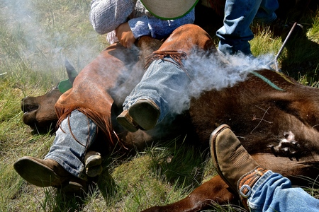 A red hot iron placed on the hide of a calf results in the hair burning and smoking during the branding process.