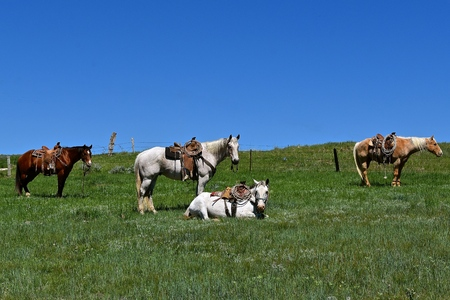 Four hobbled  and saddled horses during a roundup and branding with one horse laying down.