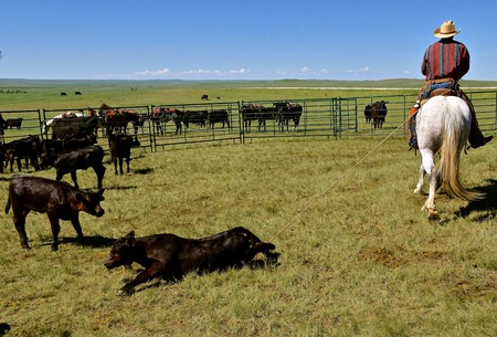 An unidentified cowboy  has lassoed a calf and dragging it out for branding and vaccinations.