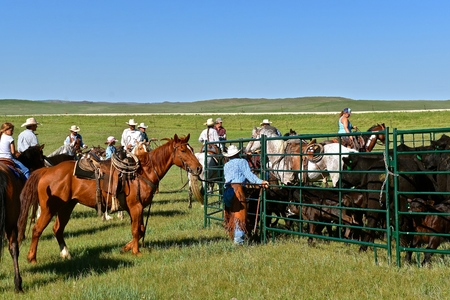 MUD BUTTE, SOUTH DAKOTA, May 23, 2018: The annual roundup and branding of cattle brings the area cowboys and cowgirl in the process on the One Wing Triangle Ranch