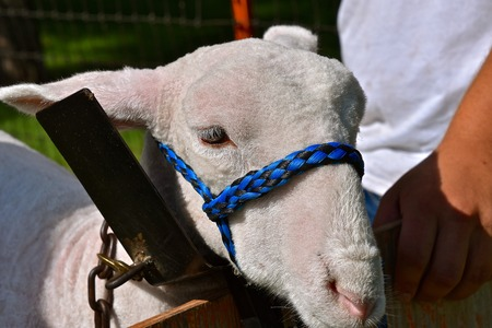 The head of a spring sheep is secured to a frame by a halter as it is being prepared for a livestock judging contest.
