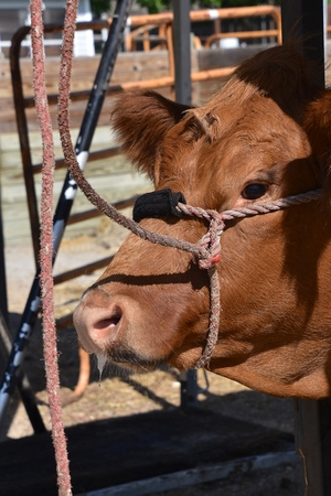 The head of  beef cow in  a stall with a rope halter at a livestock judging contest. Stock Photo