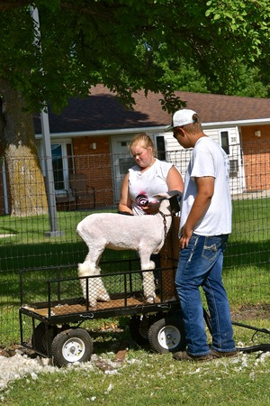 BARNESVILLE, MINNESOTA, July 12, 2018: The annual Clay county Fair held each July finds a sheep being sheared for judging Stok Fotoğraf - 104986476