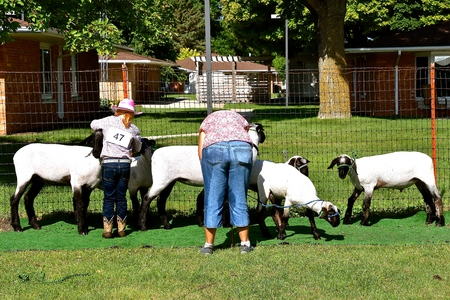 BARNESVILLE, MINNESOTA, July 12, 2018: The annual Clay county Fair held each July finds a sheep being sheared for judging