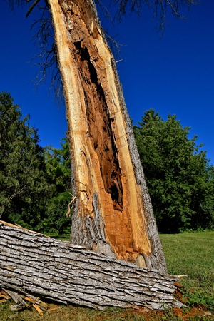 A rotten diseased hollowed out ash tree split in half during a wind storm.