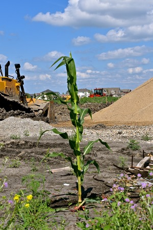 A lone maturing stalk of corn grown in a construction zone of new residential homes