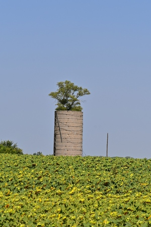 A tall tree grows from within an old farm silo in the middle of a sunflower field ready for the autumn harvest. Фото со стока