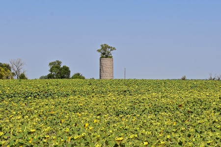A tall tree grows from within an old farm silo in the middle of a sunflower field ready for the autumn harvest. 版權商用圖片