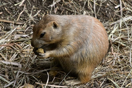 A prairie dog chews on a pellet of food in a zoo setting. Imagens