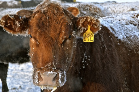 A beef cow stands in the cold wintry conditions covered with ice and snow