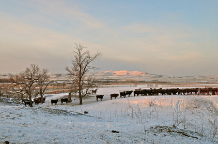 A black Angus beef cow line up in a feedlot during cold snowy harsh conditions. Stock Photo
