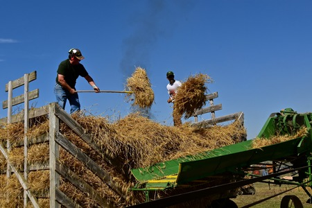 ROLLAG, MINNESOTA, September 2 ,2018: Unidentified volunteers pitch bundles into the threshing feeder at the annual WCSTR farm threshers reunion in Rollag held each labor Day weekend where thousands attend.
