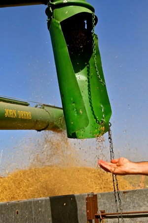 An open hand catches wheat kernels as they leave the auger of an old threshing machine