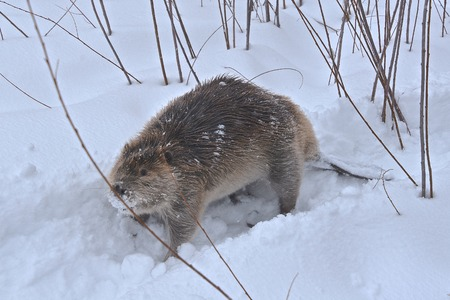 Un castor sigue un camino en la nieve profunda en un ambiente frío y tormentoso. Foto de archivo