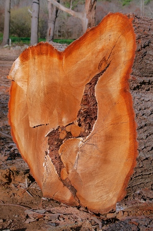 The end grain of a huge pine tree slab indicates the center of was in the process of decaying.