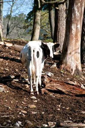 A black and white Holstein cow standing outdoors in a pasture turns it's head in a backward look.