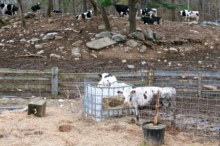 Young Holstein claves in a pen are fenced off from a herd of dairy cows resting in a wooden grove of trees and rocks. Banque d'images - 122379934