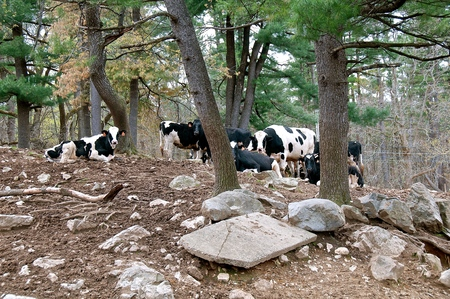 A herd of black and white Holstein cows rest in a shaded  and rocky wooded area Stock Photo