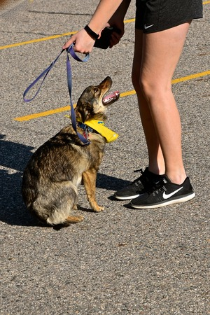 FARGO, NORTH DAKOTA, May 13, 2019 Dogs and trainersowners participate in the Furgo Dog Race which is underway at the annual Fargo Marathon which also includes a cyclothon, youth, 5K, 10K, half, and full runs. Editorial