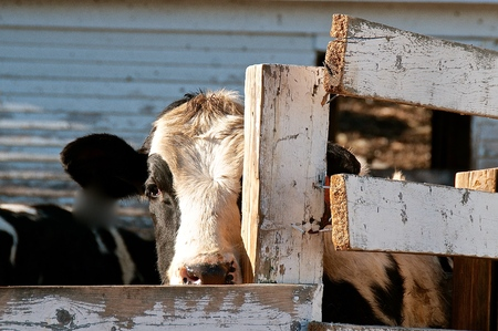 A partial head and eye of a Holstein cow  standing beside a rickety wooden fence is seen Imagens - 123610699