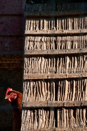 A brown headed chicken sticks its head from behind a wall in a henhouse Imagens