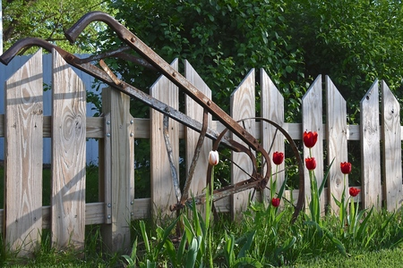 A vintage antique garden hoe used for destroying weeds leaning against a weathered wood fence in a tulip bed.