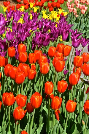 Beautiful tulips flowers displaying the ornate colors of the blooming plants in a flower garden Imagens - 124628170