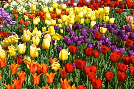 Beautiful tulips flowers displaying the ornate colors of the blooming plants in a flower garden Stok Fotoğraf