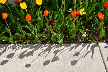 Beautiful tulips flowers displaying the ornate colors of the blooming plants in a flower garden throw their shadows on a sidewalk Imagens - 124628519