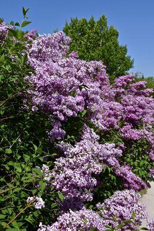 A hedge of beautiful blooming lilacs alongside a sidewalk