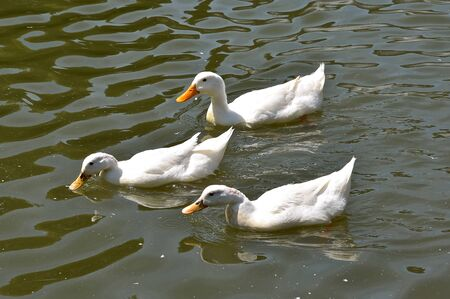 A team of three white ducks swims through the water in search of food