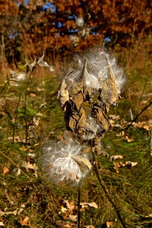 A beautiful milkweed pod has exploded in an autumn environement Фото со стока